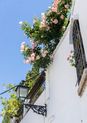 Roses in Granada