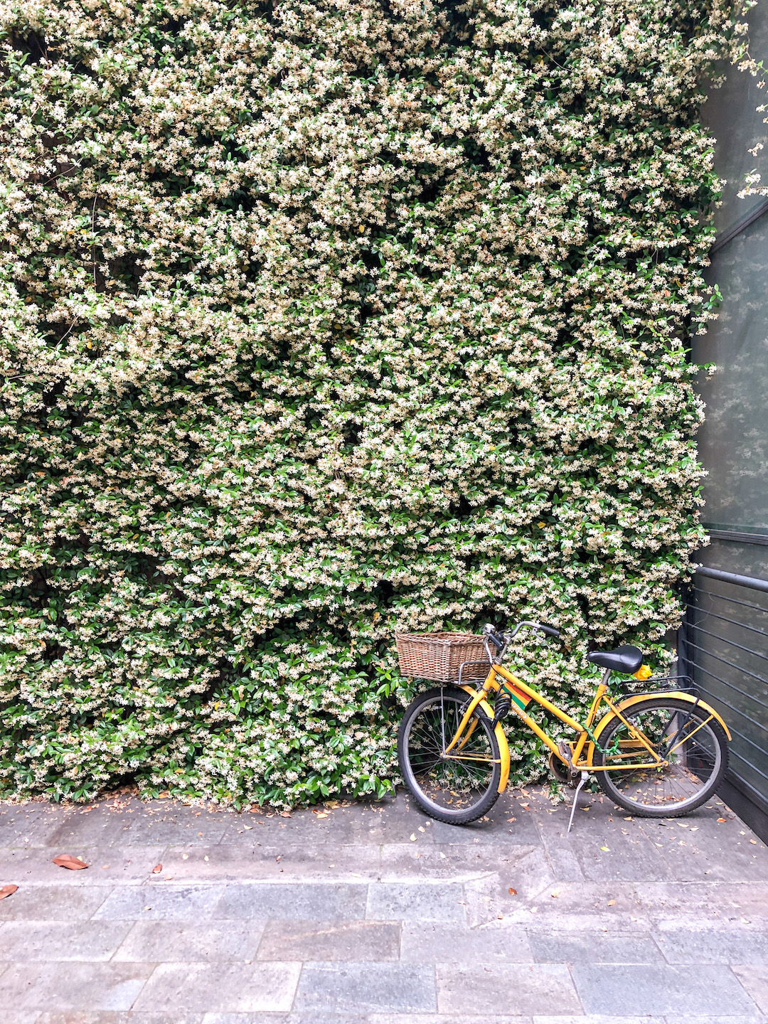 Cute Jasmine Covered Walls in Modena