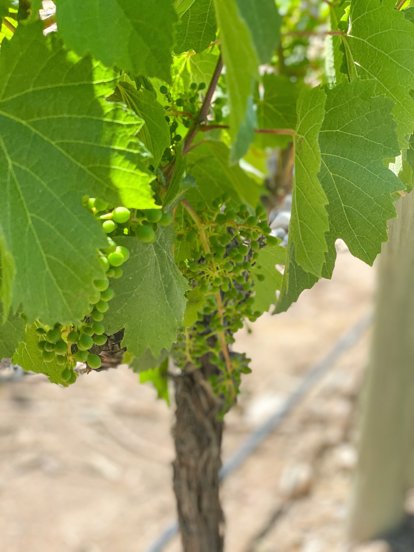 Springtime vines in Mendoza Argentina