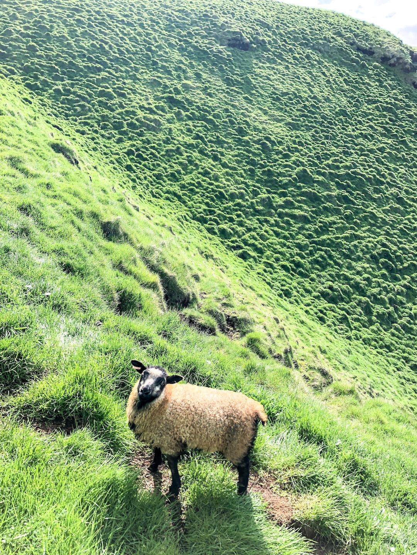 Icelandic Sheep