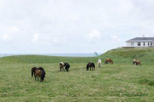 Icelandic Horses in Westman Islands