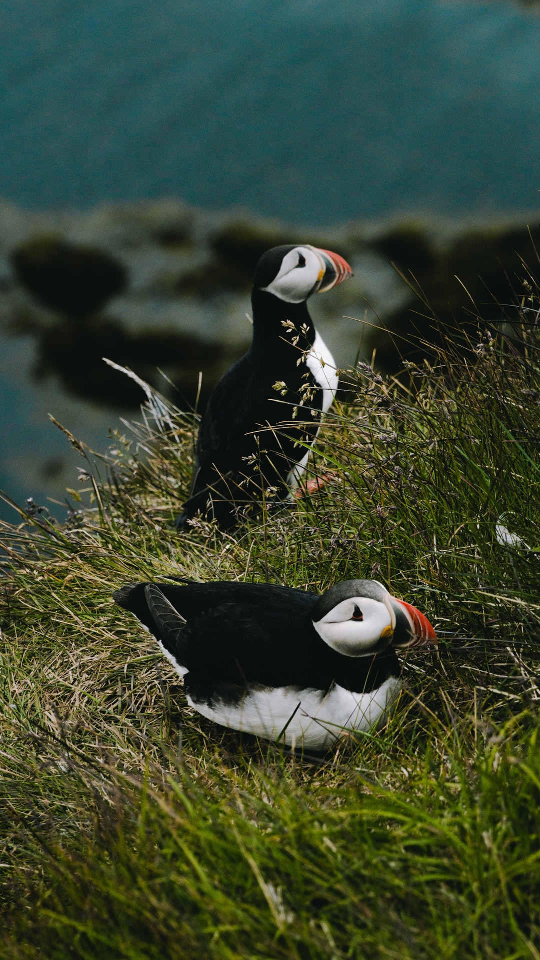 Photo of Puffins by Till from Pexels